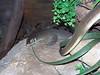 Mertens's Water Monitor<br /> (Varanus mertensi)<br /> Featherdale Wildlife Park
