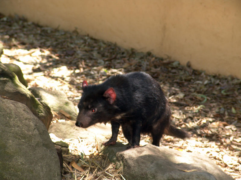 Tasmanian Devil<br /> Featherdale Animal Park