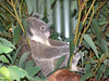 Koala <br /> (Phascolarctos cinereus)<br /> Featherdale Animal Park