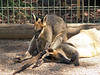 Rock-wallabies<br /> Featherdale Animal Park