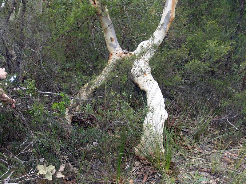 Unusual Gum Tree