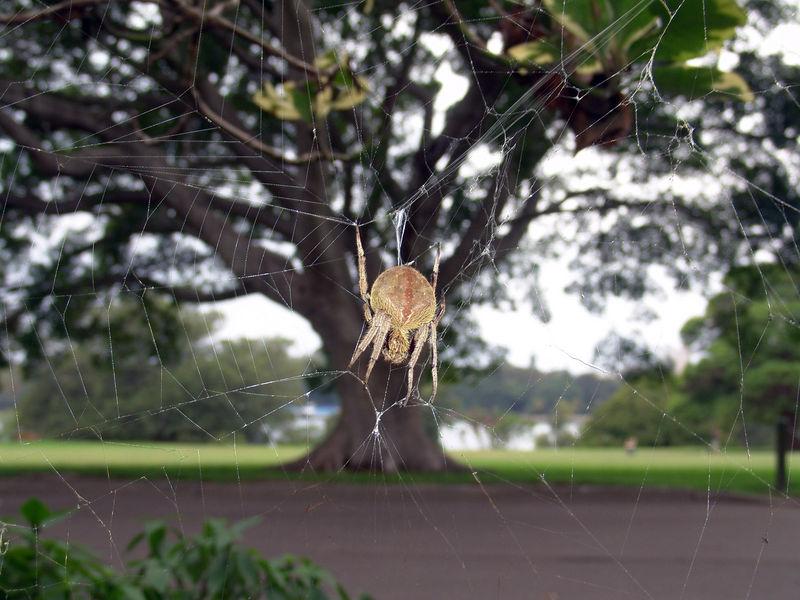 Common garden spiders<br /> (Eriophora transmarina)