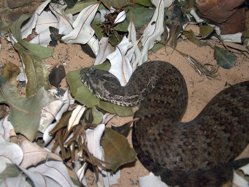 Common Death Adder <br /> (Acanthophis antarcticus) <br /> Featherdale Animal Park