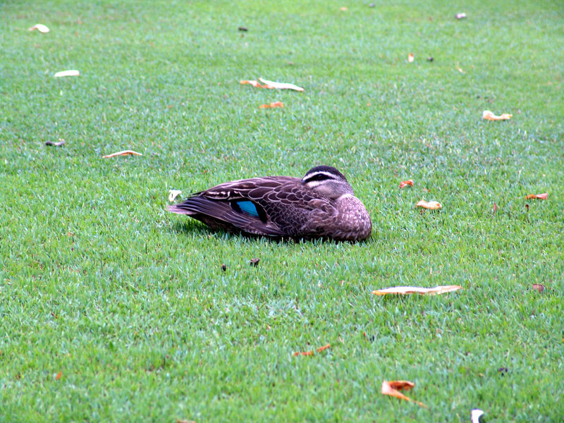 Australia Wood Duck<br /> (Chenonetta jubata) <br /> Govenors House, <br /> Sydney Botanical Gardens, NSW