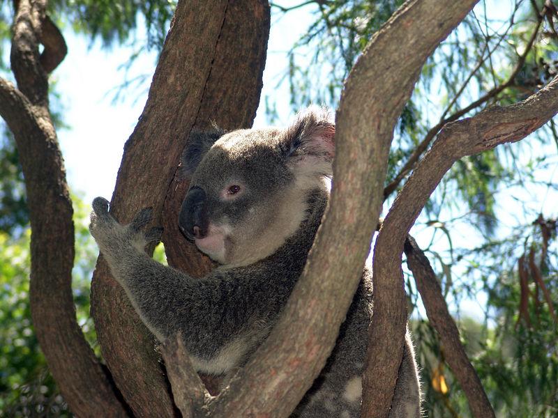 Koala <br /> (Phascolarctos cinereus)<br /> Featherdale Animal Park
