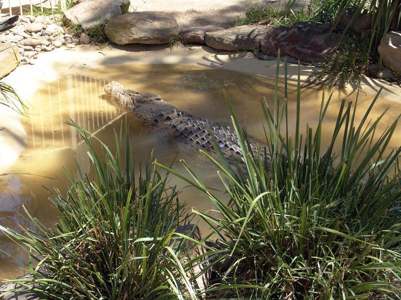 Saltwater crocodile<br /> (Crocodylus porosus)<br /> Featherdale Animal Park