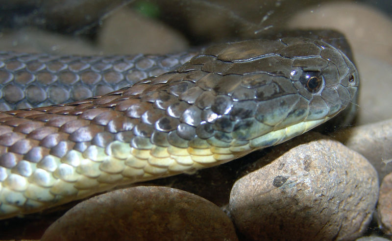Mainland Tiger Snake (Notechis scutatus) Featherdale Animal Park
