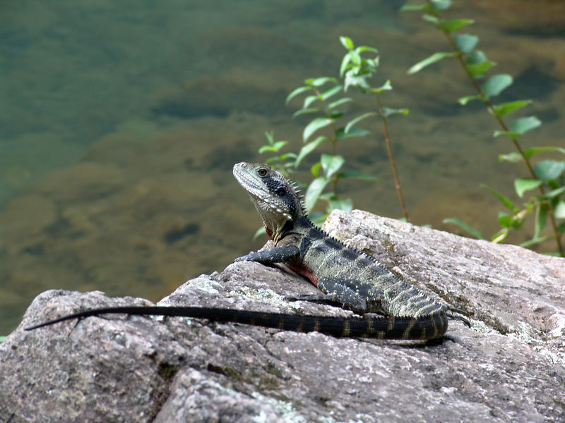 Eastern Water Dragon<br /> (Physignathus lesueurii)