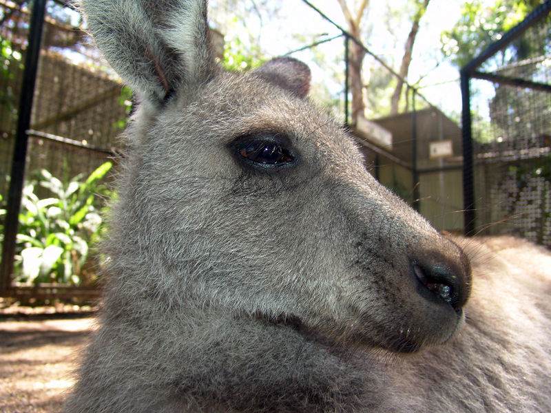 Eastern Grey Kangaroo <br /> (Macropus giganteus)<br /> Featherdale Animal Park
