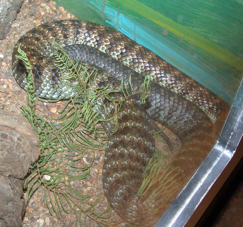 Mainland Tiger Snake <br /> (Notechis scutatus) <br /> Australian Reptile Park