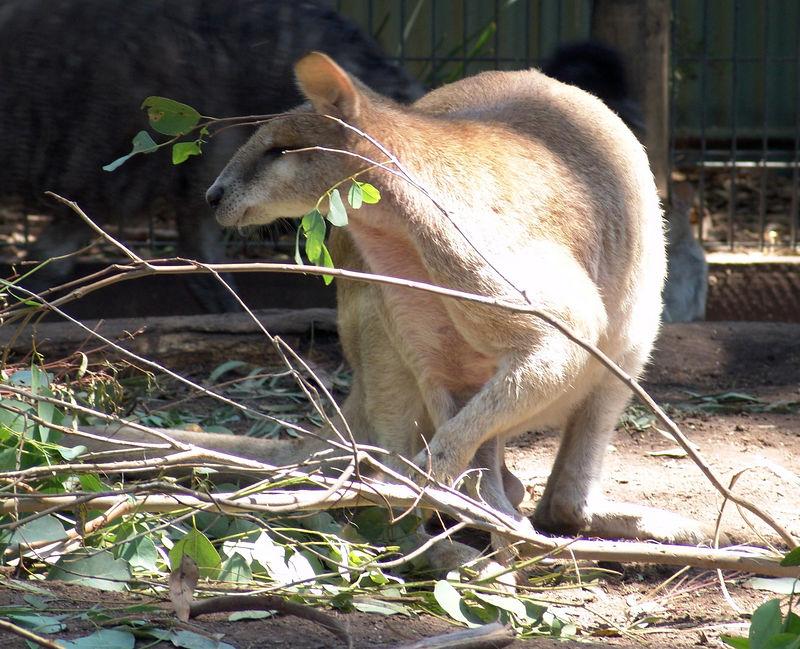 Wallaroos<br /> Featherdale Animal Park