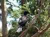 Little Black Cormorant<br /> (Phalacrocorax sulcirostris)<br /> Featherdale Wildlife Park