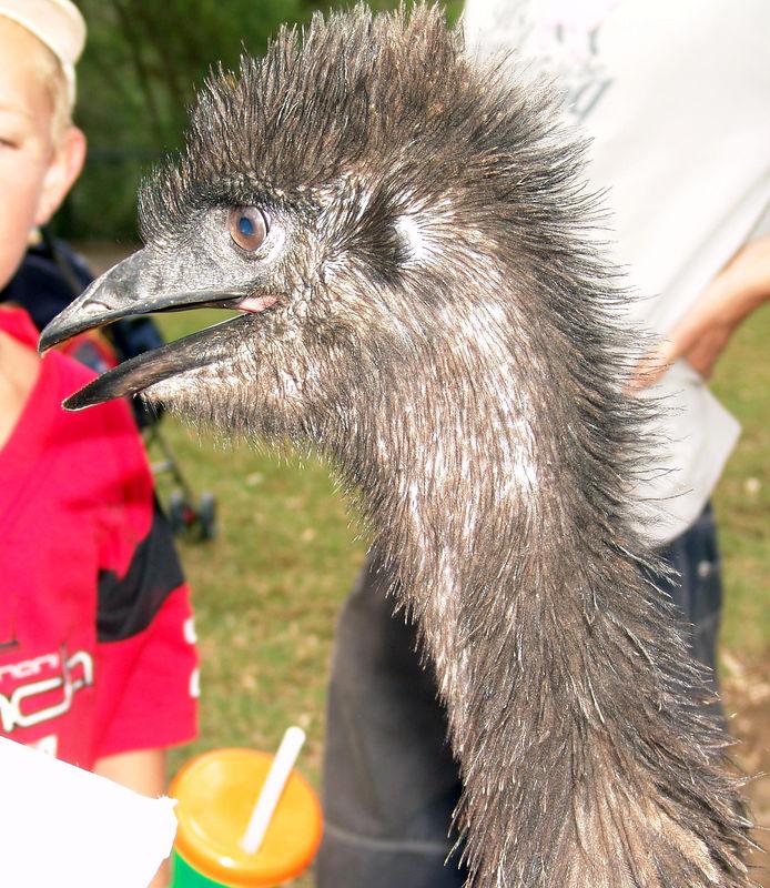 More Wacky Emu's <br /> (Dromaius novaehollandiae)