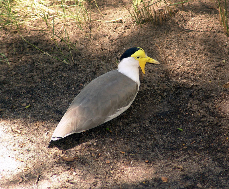 Crested Plover <br /> Featherdale Wildlife Park.