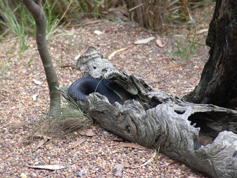 Mainland Tiger Snake <br /> (Notechis scutatus)<br /> Australian Reptile Park.