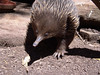 Short-beaked Echidna,<br /> (Tachyglossus aculeatus)<br /> Featherdale Animal Park