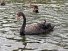 Black Swan, <br /> Cygnus atratus<br /> Centennial Park, Sydney, NSW
