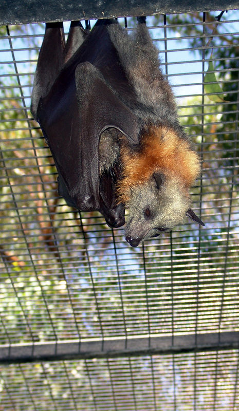 Grey-headed Flying-fox<br /> (Pteropus poliocephalus)<br /> Featherdale Animal Park