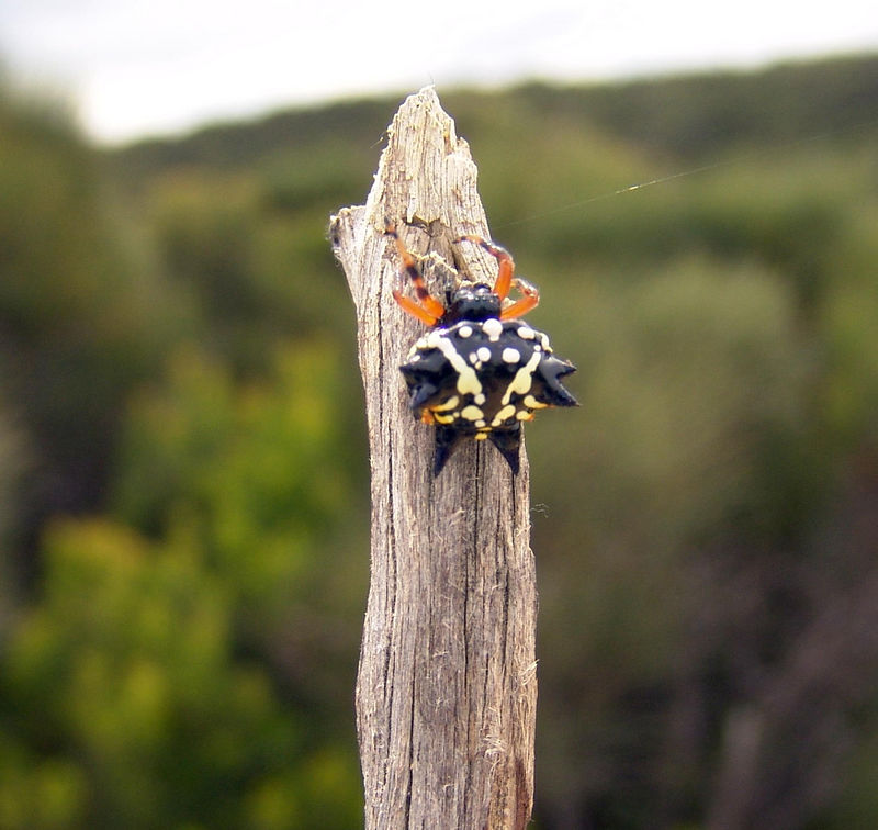 The six spined, Christmas or jewel spider (Astracantha minax)