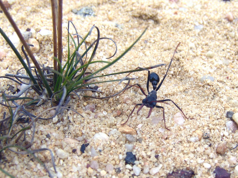 """Nasty ant ...These are yet unidentified   <br /> If you know what they are email me....    <br /> <br /> May be """"Jack Jumpers"""""""