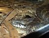 Common Death Adder  <br /> (Acanthophis antarcticus) <br /> Australian Reptile Park