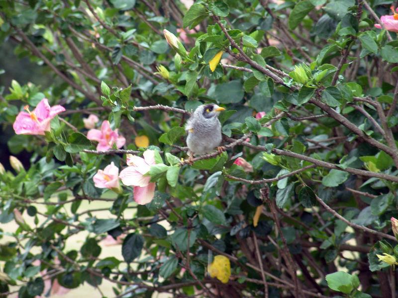 "A ""Noisy Miner"" (Manorina melanocephalia) at the Sydney Botanical Gardens, NSW"