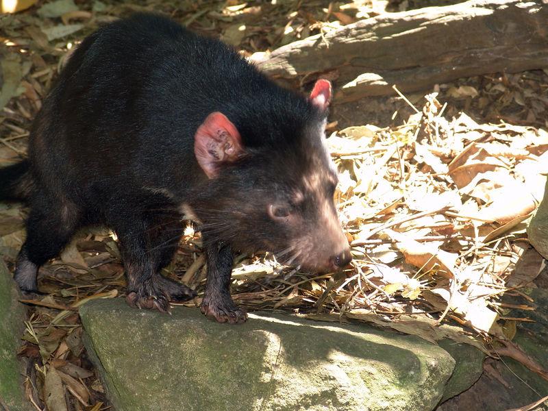 Tasmanian Devil<br /> Featherdale Animal Park