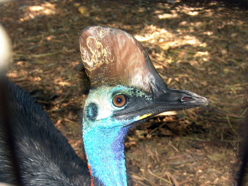 The Cassowary is keeping his eye on me...