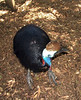 This flightless bird is capable of disembowling a human with it's hine foot & Volciraptor hind claw .  <br /> Featherdale Wildlife Park