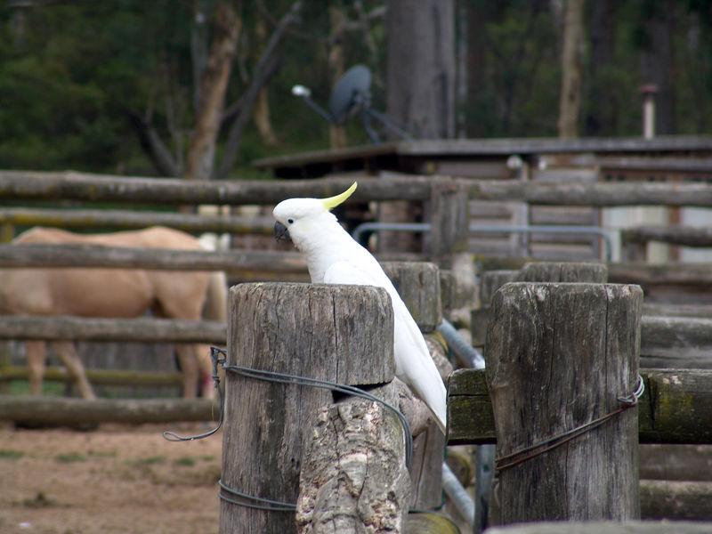 Sulphur-crested Cockatoo, <br /> Cacatua galerita<br /> Megalong Valley, NSW