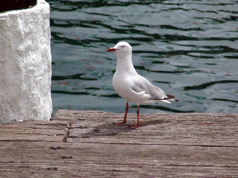 Silver Gull (Larus novaehollandiae), Darling Harbor