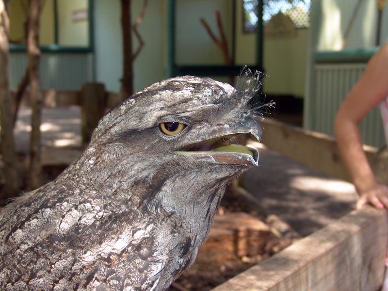 Tawney Frogmouth <br /> (Podargus strigoides) <br /> Were cool birds that allowed a gentle pat of the head or scratch on the chin.<br /> Featherdale Wildlife Park