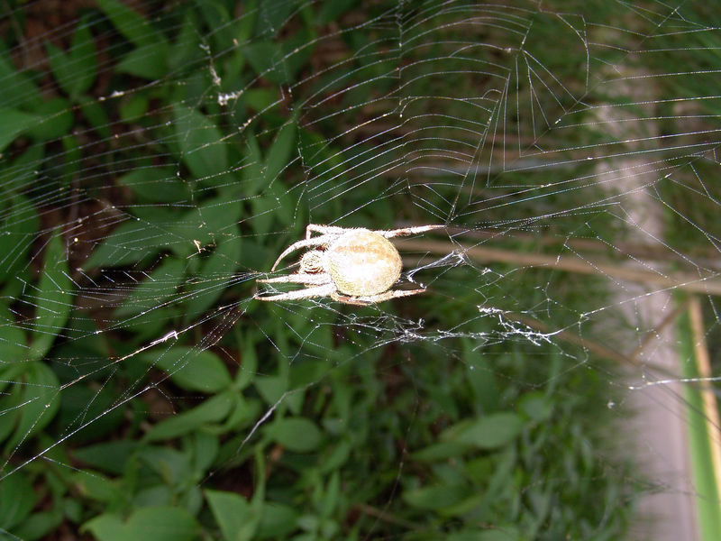 Common garden spiders<br /> (Eriophora transmarina)