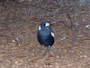 Pied Butcher Birds <br /> (Cracticus nigrogularis)  have one of the coolest songs of all the birds heard while in Australia.  I have them singing on video.