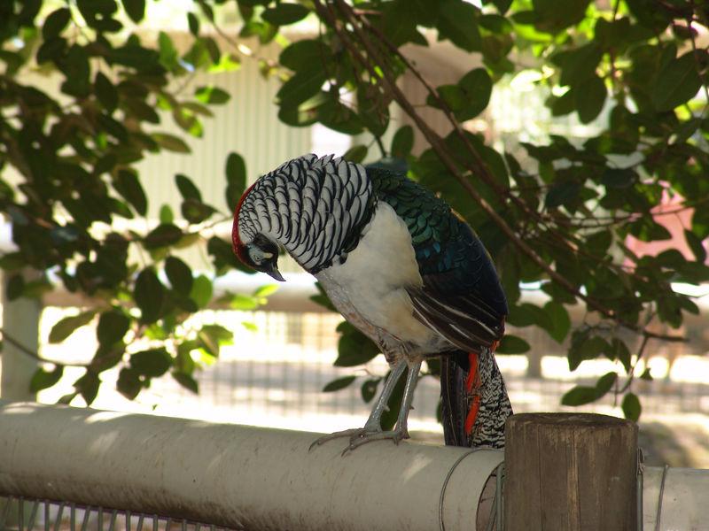 Chinese Ring-Necked Pheasant, Featherdale Wildlife Park