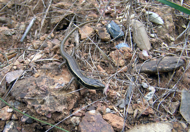 Eastern Water Skink <br /> (Eulamprus quoyii)   <br /> Ya think they were sort of common?