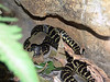 Broad-headed Snake<br /> (Hoplocephalus bungaroides)<br /> Featherdale Animal Park