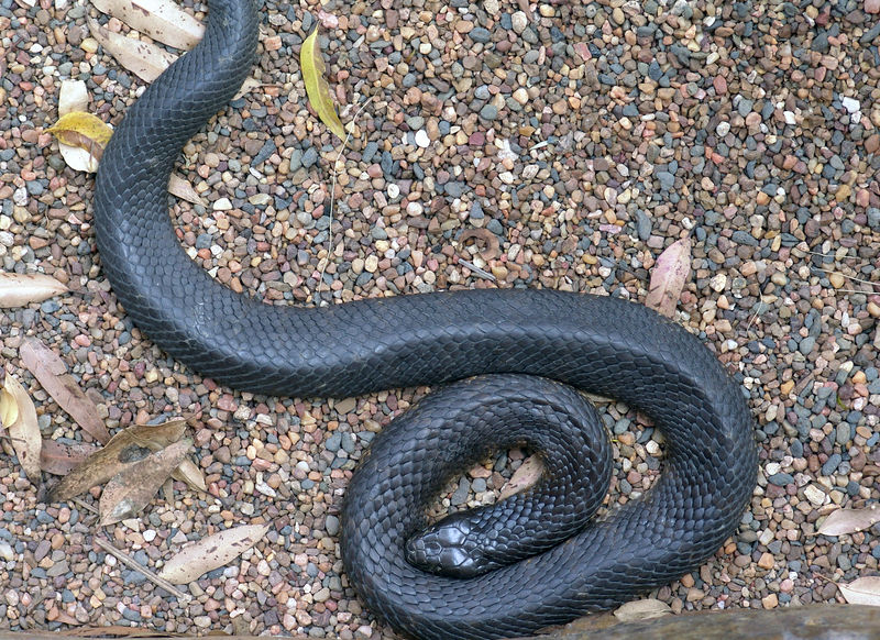 Red Bellied Black Snake<br /> (Pseudechis porphyriacus) <br /> Australian Reptile Park.