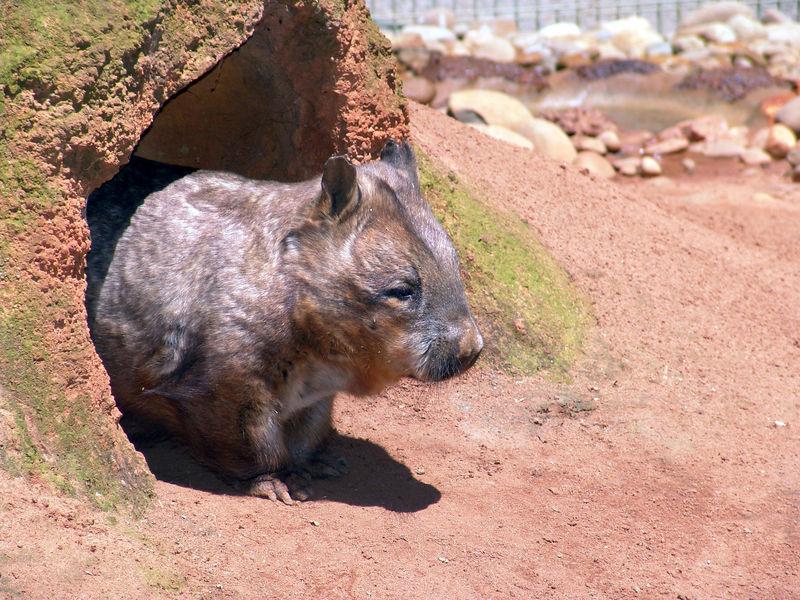 Common Wombat<br /> (Vombatus ursinus)<br /> Featherdale Animal Park