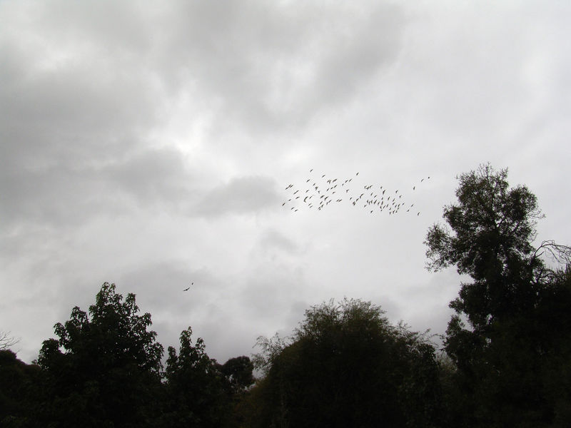 Here's a huge flock of Sulphur-crested Cockatoo's <br /> Flying around making a big racket