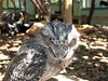 It's a very nice Tawney Frogmouth <br /> (Podargus strigoides)     <br /> Featherdale Wildlife Park