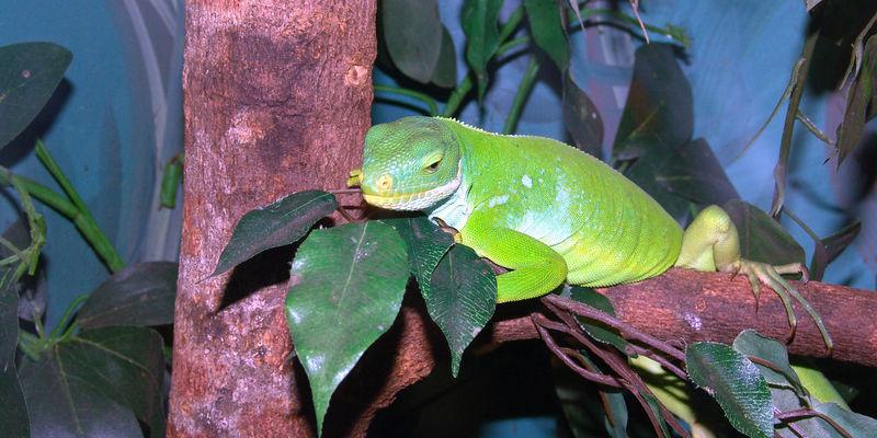Fiji Iguana (Brachylophus fasciatus)<br /> Australian Reptile Park