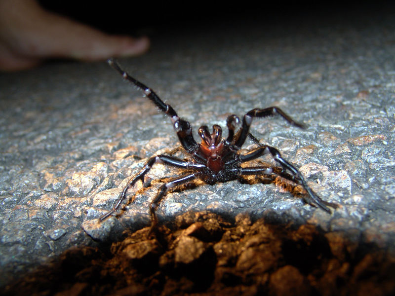 The Sydney Funnel-web Spider (Atrax robustus) <br /> A Fangs eye view of the business end of this beastie seen crossing the road in NP.  Bites are dangerous and can cause serious illness or death. The venom appears to particularly affect primates (ie humans), whereas other mammals - such as cats and dogs - are relatively resistant.   The one pictured, now resides at the Australian Reptile Park where it's milked for venom to be used in Antivenom production.