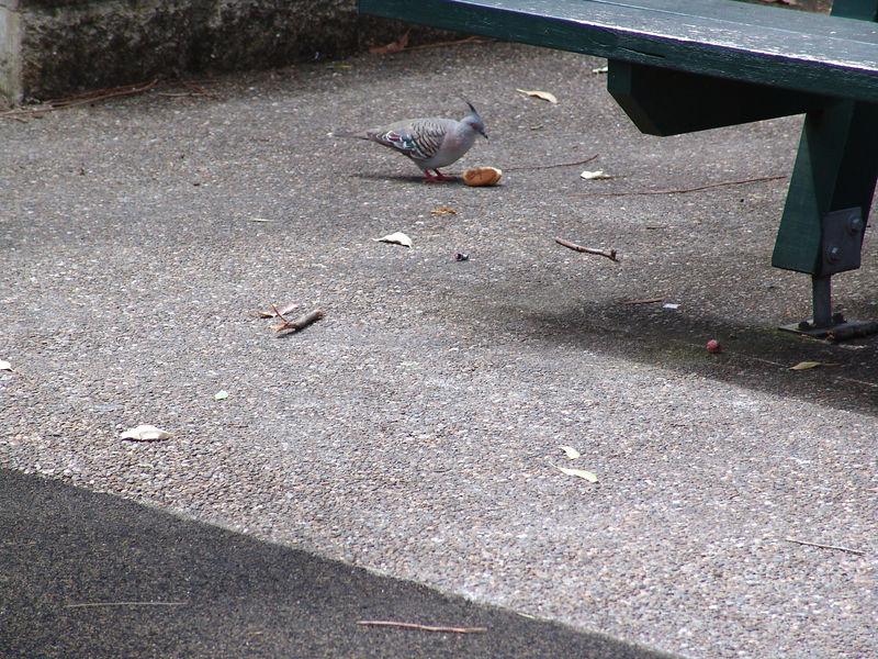 Crested Pigeon <br /> (Ocyphaps lophotes)<br /> Glenbrook, NSW