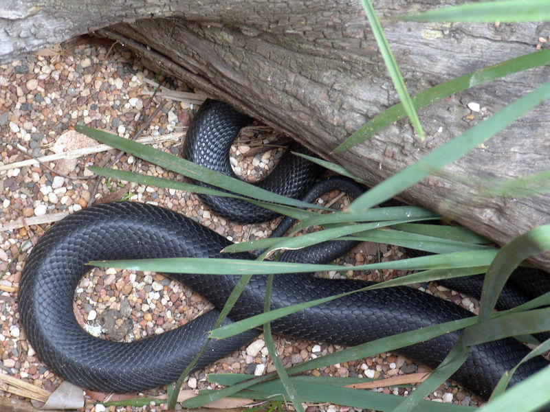 A Monsterous size Red Belly Black Snake<br /> (Pseudechis porphyriacus)<br /> Australian Reptile Park.