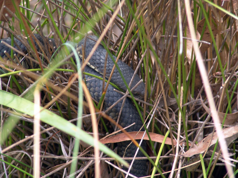 Mainland Tiger Snake <br /> (Notechis scutatus)<br /> Dharug NP