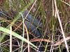 Mainland Tiger Snake <br /> (Notechis scutatus)<br /> Dharug NP