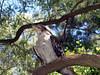 Laughing Kookaburra <br /> (Dacelo novaeguineae) <br /> Featherdale Wildlife Park