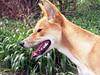 Dingo<br /> (Canis lupus dingo)<br /> Featherdale Animal Park