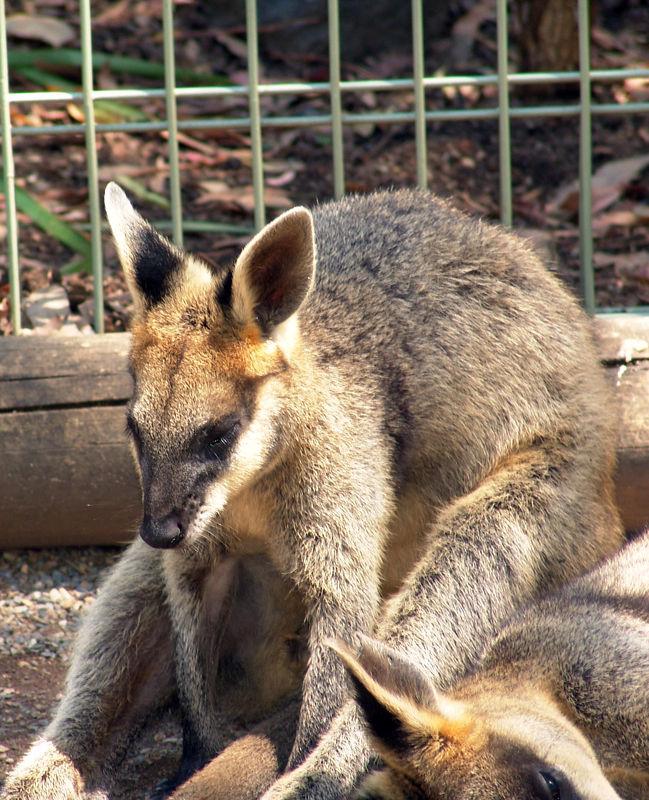 Rock-wallabies<br /> Featherdale Animal Park